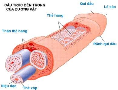 chieu-dai-duong-vat-dan-ong